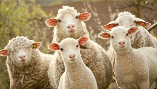 sheep groups