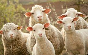 sheep groups